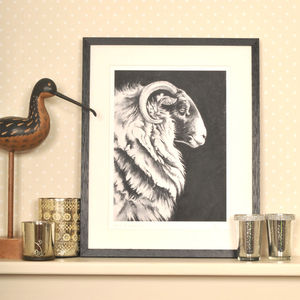 Scottish Blackface Ewe Framed Print - animals & wildlife