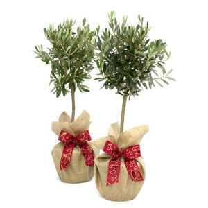 Plant Gift Pair Of Olive Trees Medium