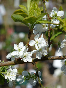 Fruit Plant Gifts Patio Plum Tree - easter home