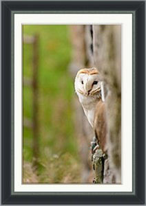 Peeping Barn Owl Framed Print - animals & wildlife
