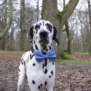 Roger Dog Bow Tie