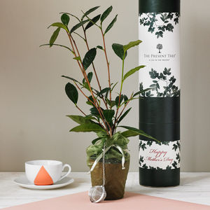 Tea Plant Gift Set - mother's day gifts