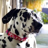 Sasha Liberty Fabric Dog Collar - pets