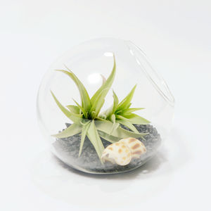 Glass Orb Vase Air Plant Terrarium - flowers & plants