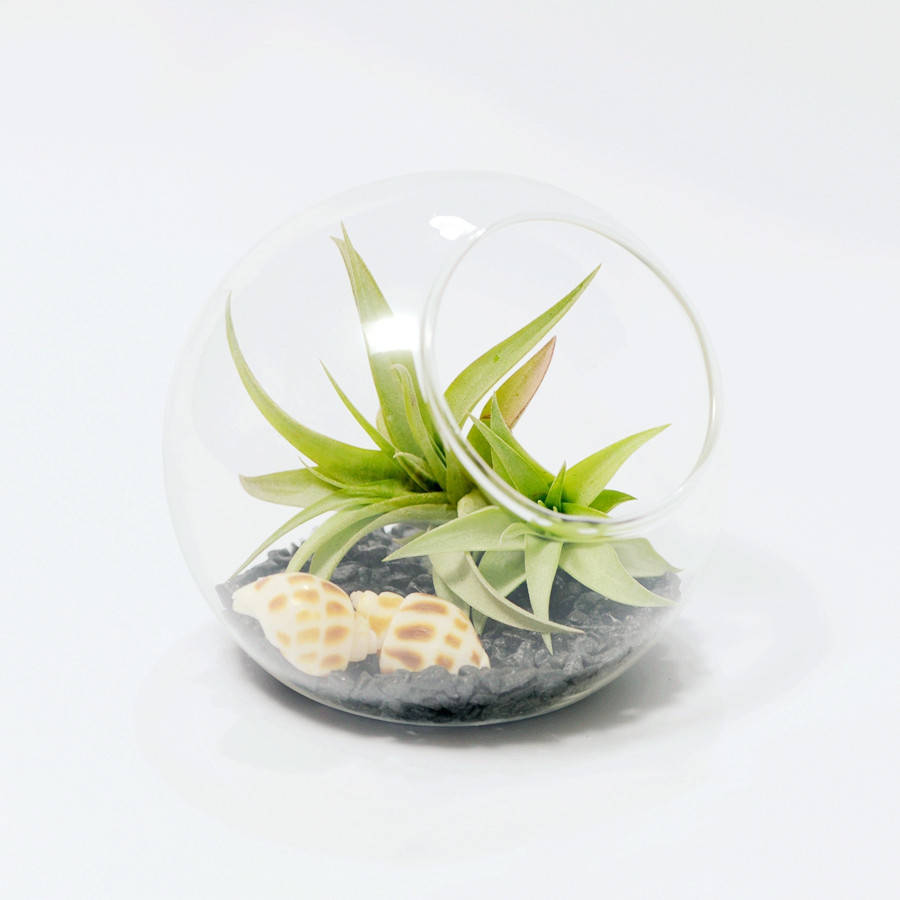 Glass Orb Vase Air Plant Terrarium By Dingading Terrariums
