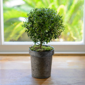 Mini Myrtle Fresh Plant Gift - home accessories