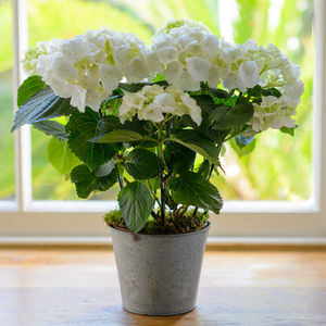 Large Hydrangea Living Plant Gift - flowers & plants