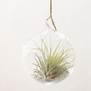 Hanging Glass Orb Air Plant Terrarium - terrariums