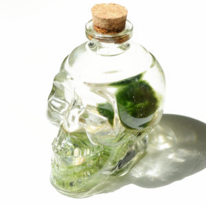 Marimo Moss Ball Terrarium In A Skull Wine Bottle - terrariums