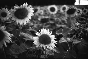 Sunflowers, France, Black And White Signed Print - contemporary art