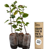 Grow Your Own Olive Tree Kit - garden