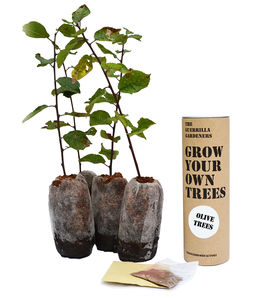 Grow Your Own Olive Tree Kit - trees