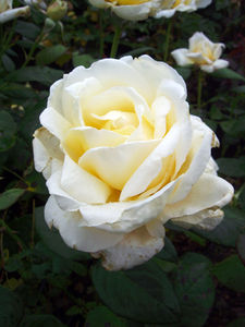 60th Anniversary The Diamond Wedding Rose