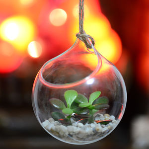 Hanging Glass Orb Money Plant Terrarium - house plants