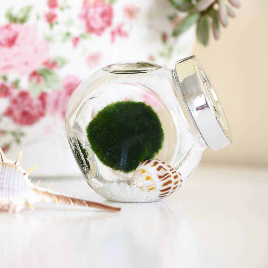 Japanese Marimo Moss Ball Terrarium By Dingading Terrariums