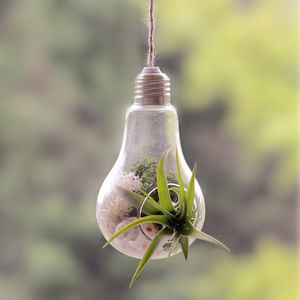 Air Plant Multiflora Hanging Lightbulb Terrarium - flowers, plants & vases