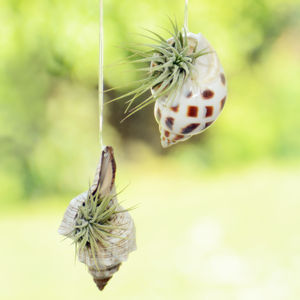 Hanging Seashell With Air Plant - flowers & plants