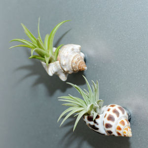 Seashell Fridge Magnet With Air Plant - kitchen accessories