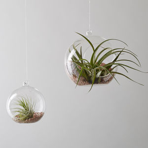 Glass Bauble Air Plant Hanger - flowers & plants